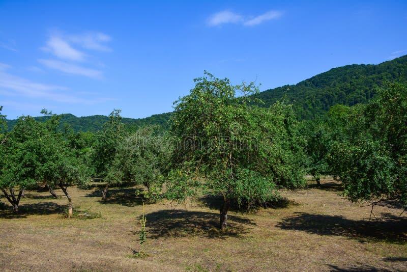 Árboles frutales verdes imagen de archivo