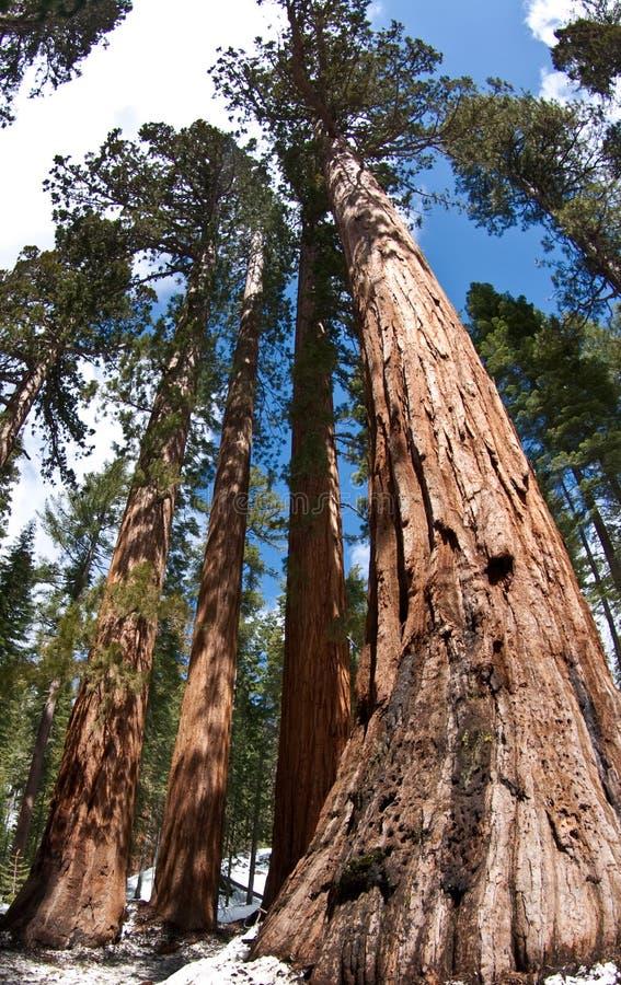 Árboles gigantes de la secoya - soltero y 3 tolerancias imagen de archivo libre de regalías