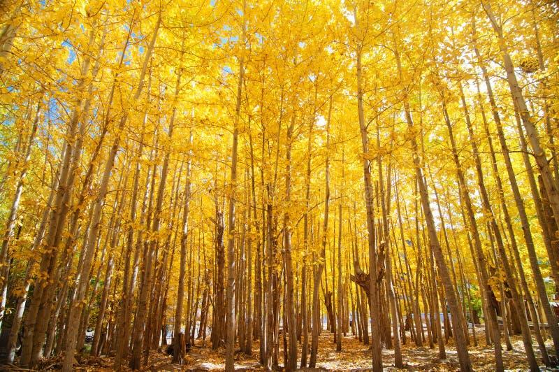 Árboles granangulares de Aspen de la caída imagenes de archivo
