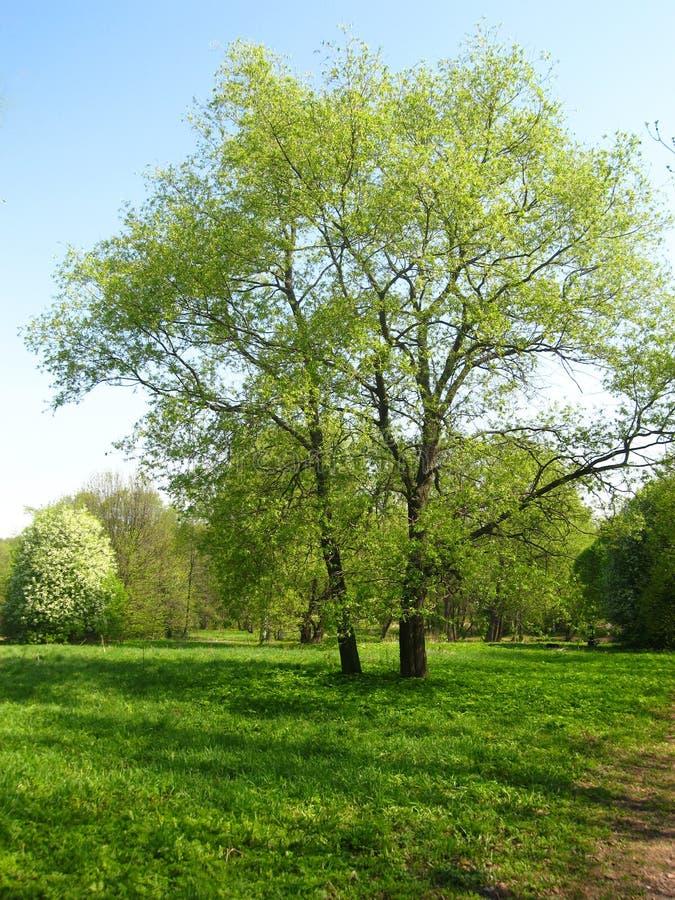 Árboles grandes en el prado, verano imagen de archivo