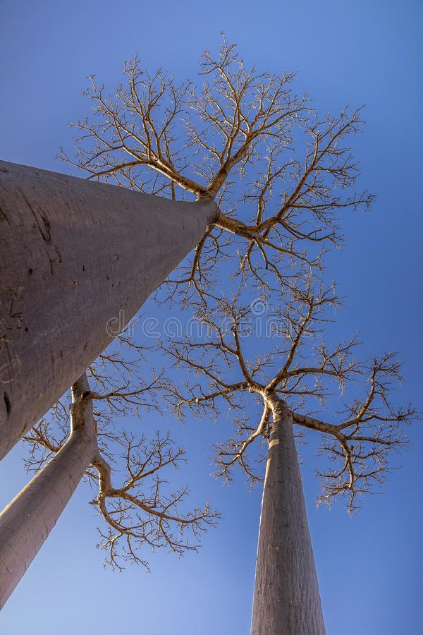 Árboles hermosos del baobab en la puesta del sol en la avenida de los baobabs en Madagascar imagenes de archivo