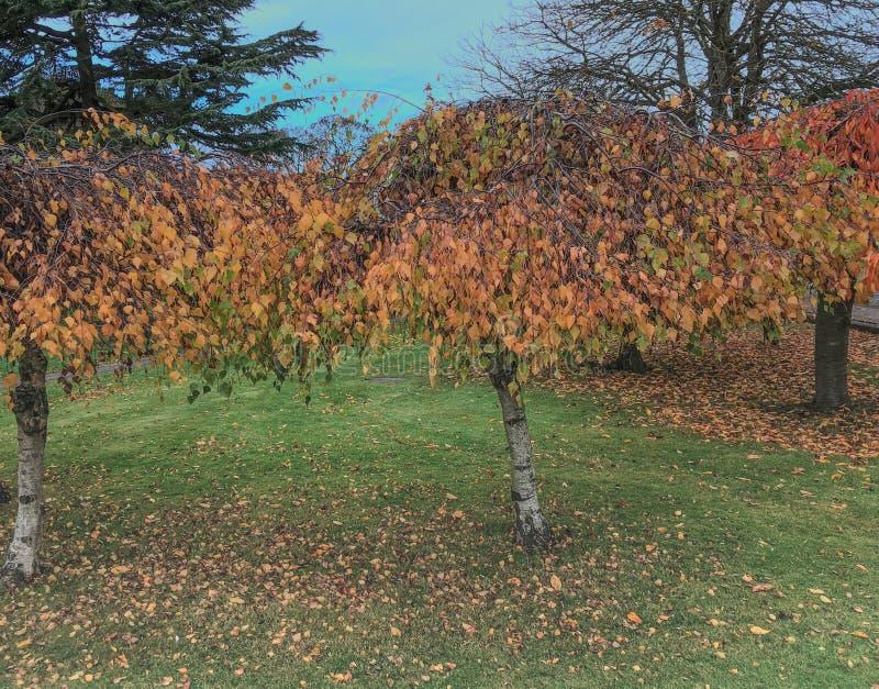 Árboles hojeados de oro preciosos en el parque de Bletchley imagen de archivo