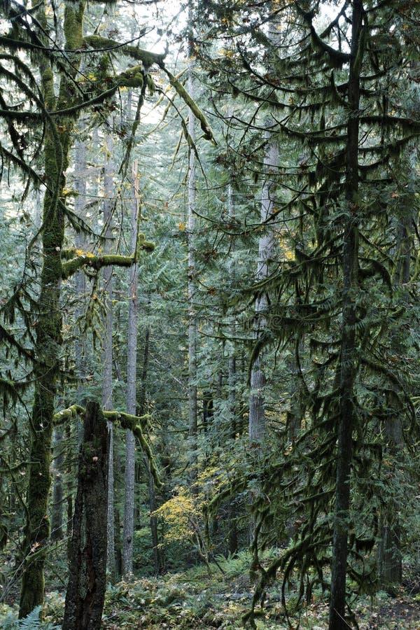 Árboles imperecederos del abeto en un bosque del viejo crecimiento imágenes de archivo libres de regalías