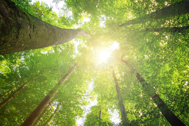 Árboles impresionantes en el verde fresco del bosque, tiempo de primavera Visi?n inferior foto de archivo