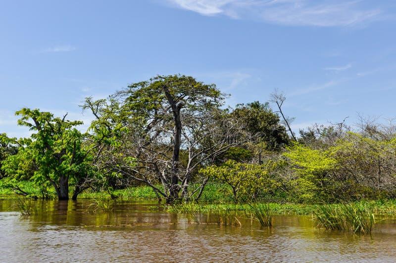 Árboles inundados en la selva tropical del Amazonas, el Brasil foto de archivo libre de regalías
