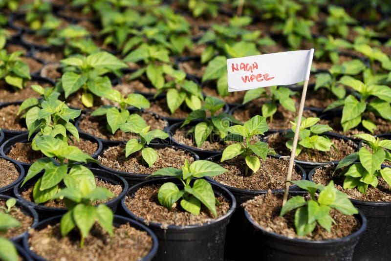 Árboles jóvenes del pimiento picante en un invernadero imagen de archivo