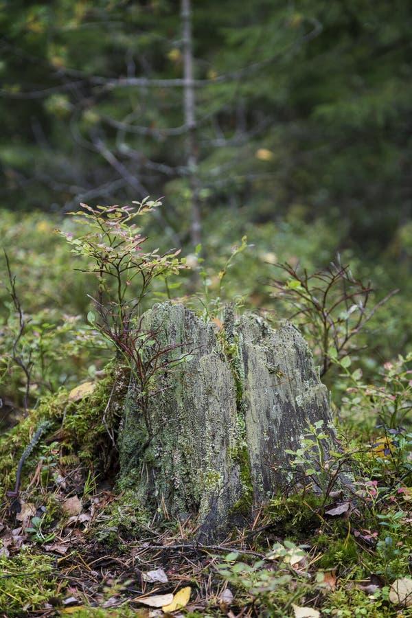 Árboles jóvenes y tocón de árbol viejo en un bosque fotos de archivo