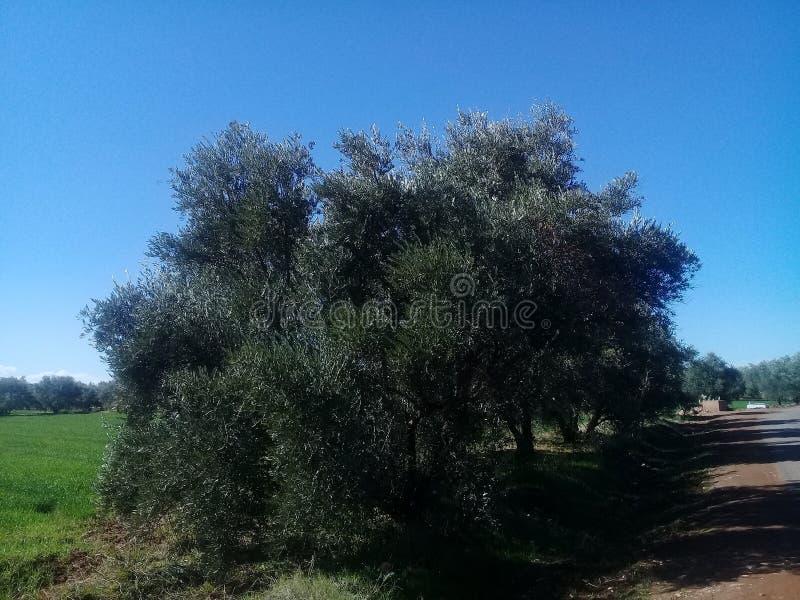Árboles marroquíes imagen de archivo
