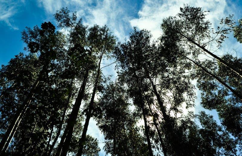 Árboles mirados de debajo foto de archivo libre de regalías