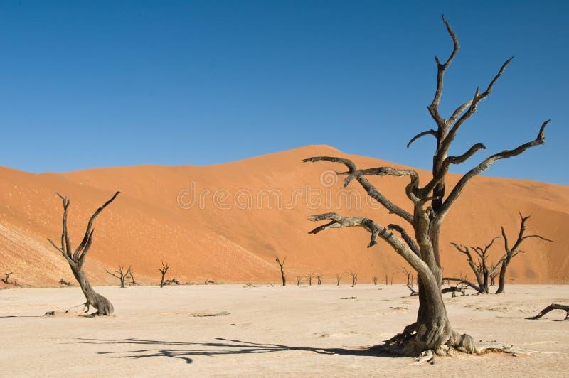 Árboles muertos del acacia en desierto imagen de archivo libre de regalías