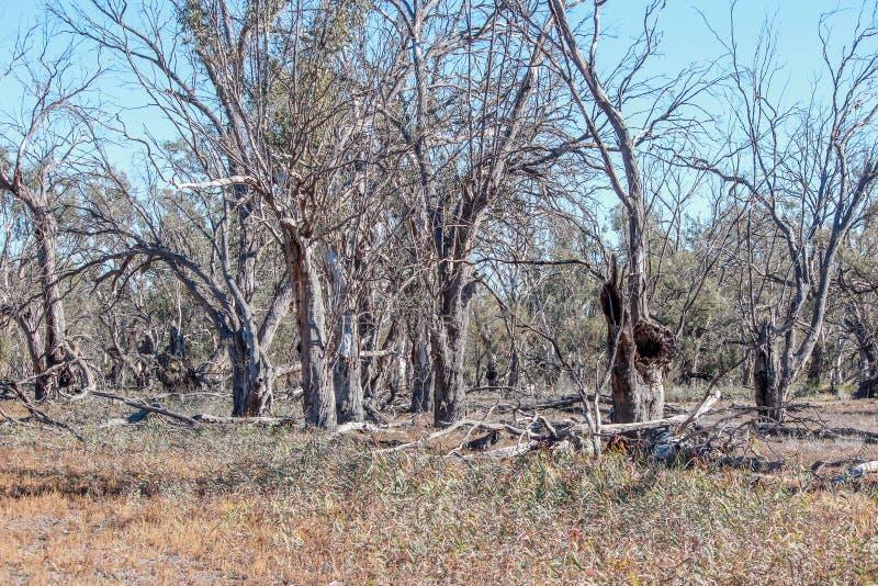 Árboles muertos en cama de lago secado foto de archivo libre de regalías