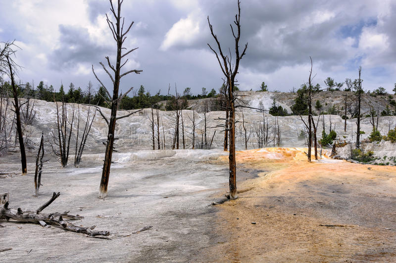 Árboles muertos en el área de Mammoth Hot Springs del parque nacional de Yellowstone fotos de archivo