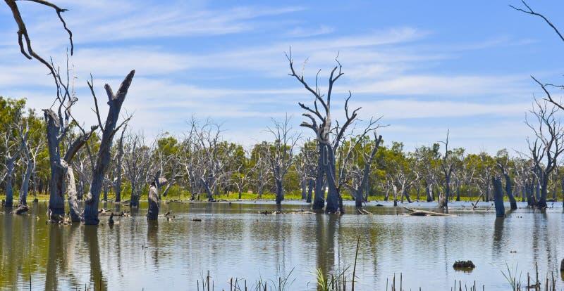 Árboles muertos en el bosque de gumtrees, Forbes, Nuevo Gales del Sur, Australia imágenes de archivo libres de regalías