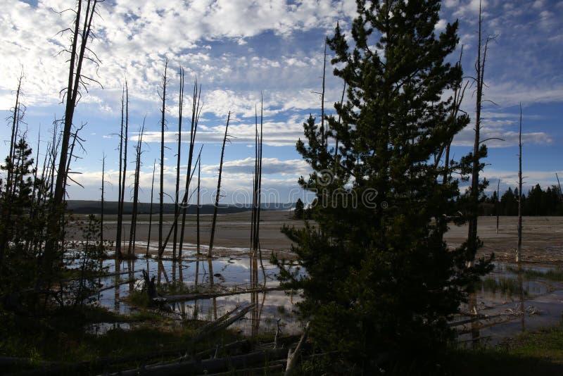Árboles muertos en el parque nacional de Yellowstone imagen de archivo