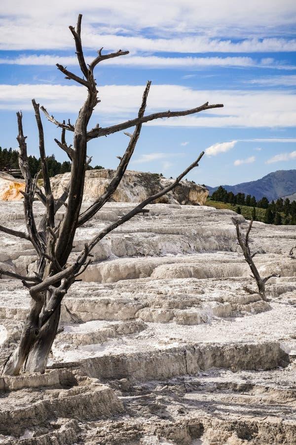 Árboles muertos en las terrazas del travertino parque nacional de Mammoth Hot Springs, Yellowstone imágenes de archivo libres de regalías