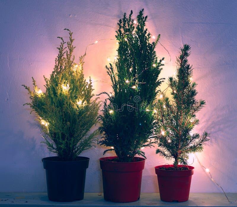 Árboles naturales de la conífera y de ciprés en luces azules imagenes de archivo