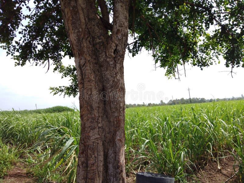 Árboles naturales indios de las plantas de las imágenes fotos de archivo