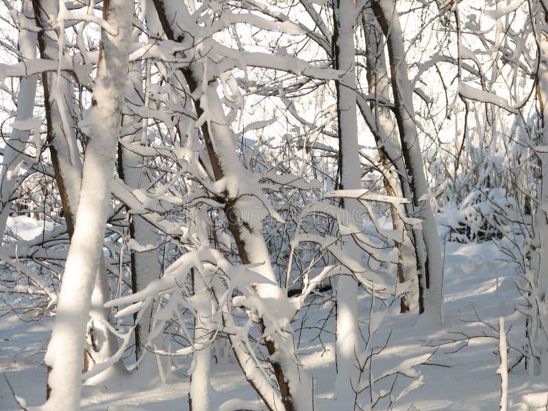Árboles nevados - 2 foto de archivo libre de regalías