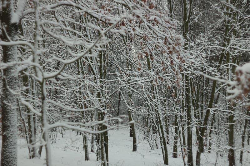 Árboles nevados en bosque del invierno fotos de archivo