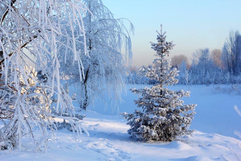 Árboles nevados en el bosque foto de archivo