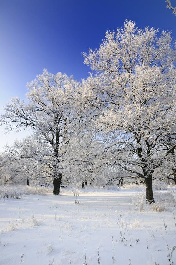 Árboles nevados en el invierno fotografía de archivo libre de regalías