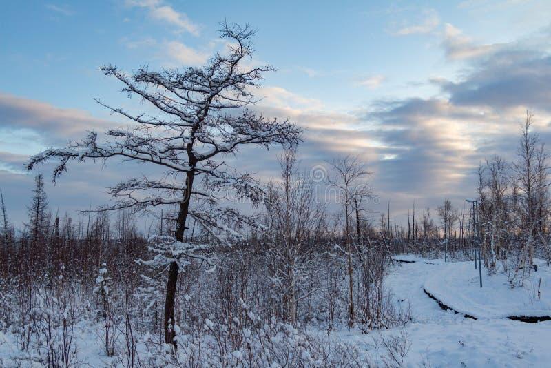 Árboles nevados y cielo nublado azul, Norilsk del invierno foto de archivo libre de regalías