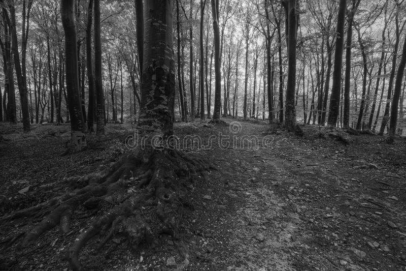Árboles oscuros del bosque en blanco y negro fotografía de archivo libre de regalías