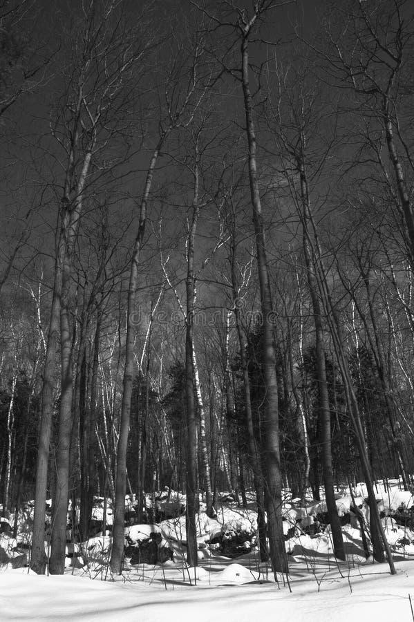 Árboles oscuros del invierno fotos de archivo libres de regalías
