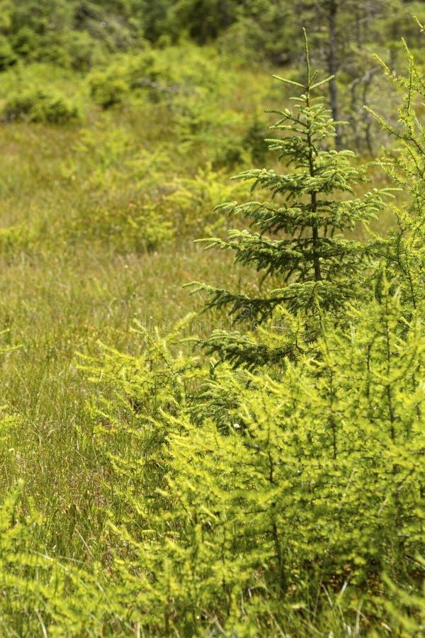 Árboles pioneros en una estera del pantano en New Hampshire imagen de archivo