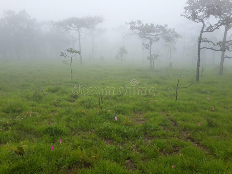 Árboles, prado y Siam Tulip con niebla por mañana fotos de archivo