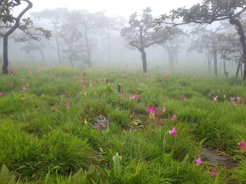 Árboles, prado y Siam Tulip con niebla por mañana foto de archivo libre de regalías