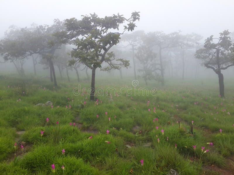 Árboles, prado y Siam Tulip con niebla por mañana imagen de archivo libre de regalías
