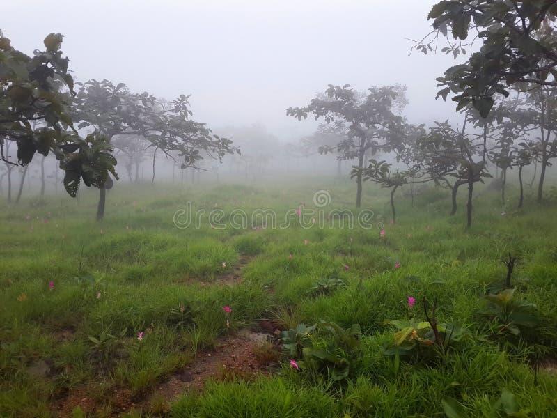 Árboles, prado y Siam Tulip con niebla por mañana foto de archivo