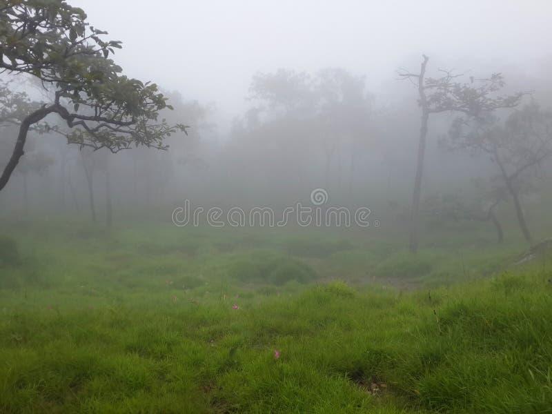 Árboles, prado y Siam Tulip con niebla por mañana imágenes de archivo libres de regalías