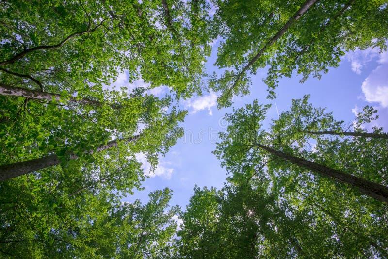 Árboles que alcanzan para el cielo fotografía de archivo libre de regalías