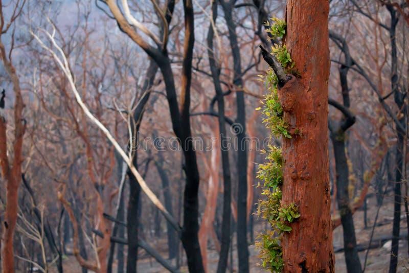 Árboles que brotan hojas nuevas después que el arbusto se dispara Australia fotos de archivo libres de regalías