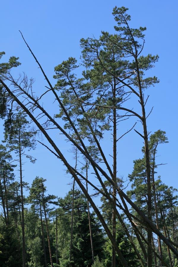 Árboles que caen en el bosque fotografía de archivo
