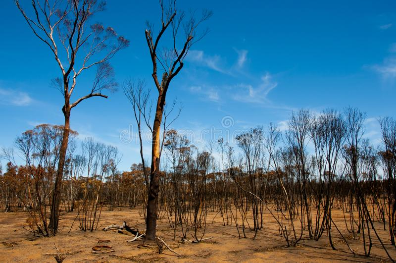 Árboles quemados Bushfire fotos de archivo libres de regalías