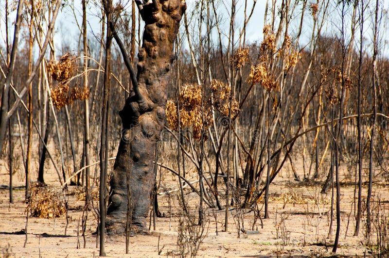Árboles quemados Bushfire foto de archivo libre de regalías