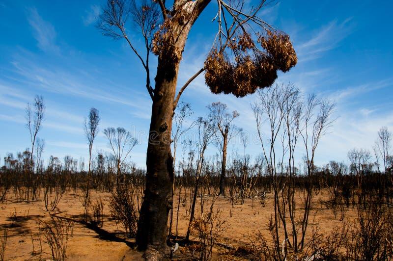 Árboles quemados Bushfire imagen de archivo libre de regalías