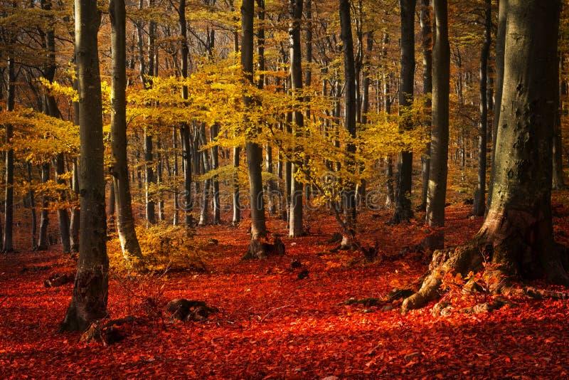 Árboles rojos en el bosque fotos de archivo
