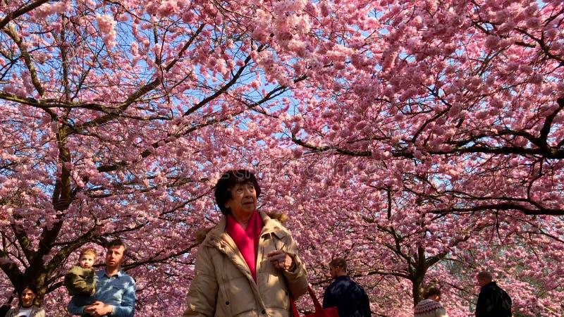 Árboles rosados de la flor de cerezo con la gente que disfruta de la explosión del color en un parque en la primavera imagenes de archivo
