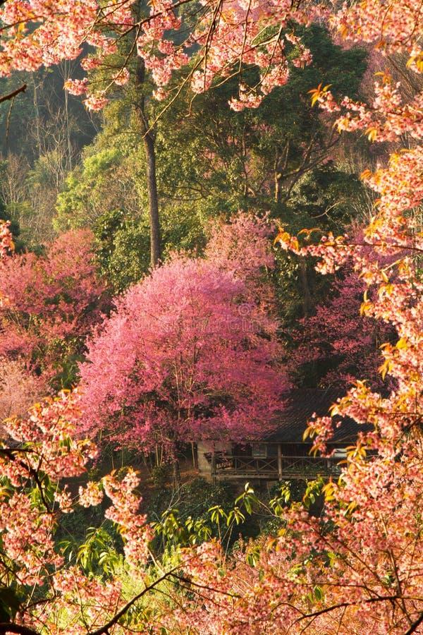 Árboles rosados de la flor de cerezo fotos de archivo libres de regalías