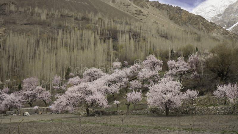 Árboles rosados del blossum de la cereza en la cuesta de montaña en el pueblo de Passu imagen de archivo libre de regalías