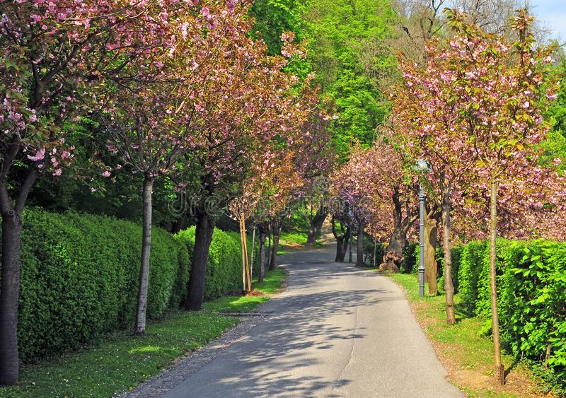 Árboles rosados en el parque de la ciudad fotos de archivo
