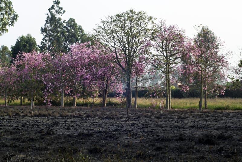 Árboles rosados en primavera fotografía de archivo