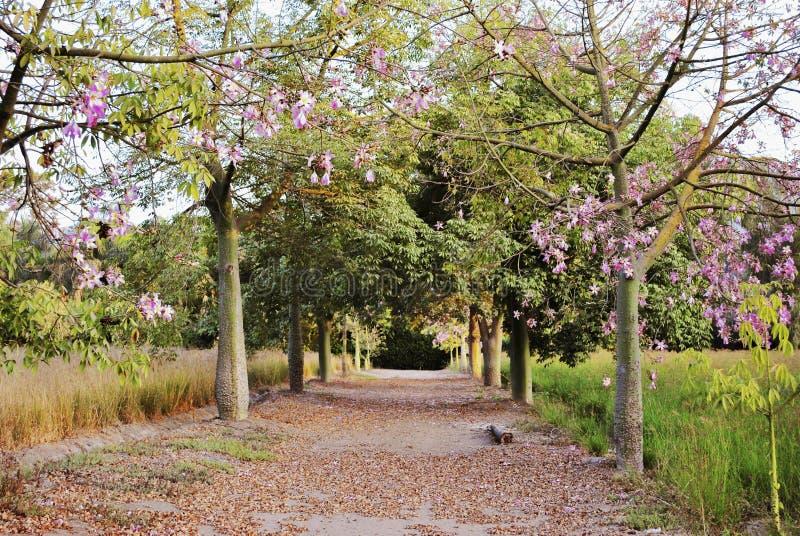 Árboles rosados en primavera fotografía de archivo libre de regalías