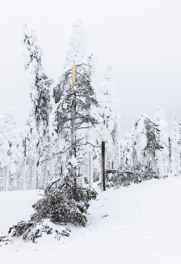 Árboles rotos por la nieve fotos de archivo libres de regalías