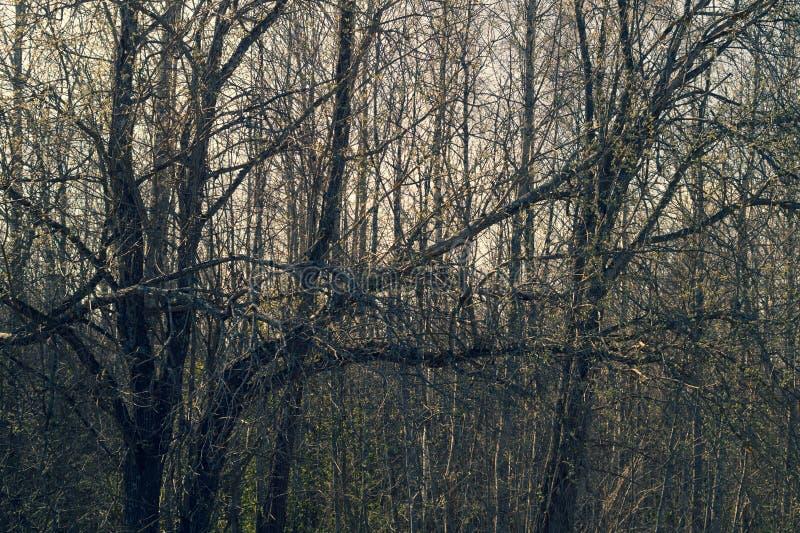 Árboles secos en día melancólico en el fondo de la naturaleza del bosque foto de archivo libre de regalías