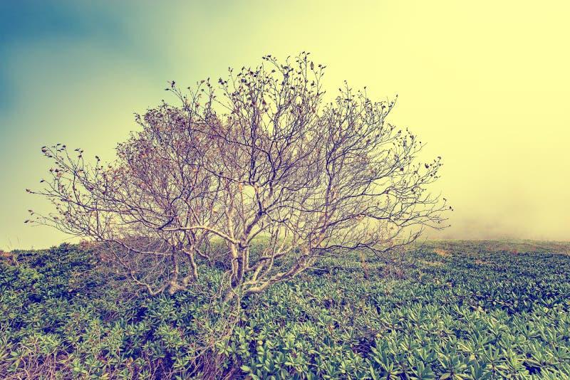Árboles solos en las montañas en el tiempo de mañana de niebla entre los arbustos del rododendro imagenes de archivo